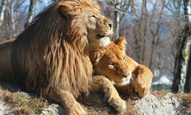 ENVIRONMENTAL: Blood Lions